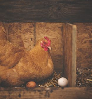 Kury nioski a także jajka