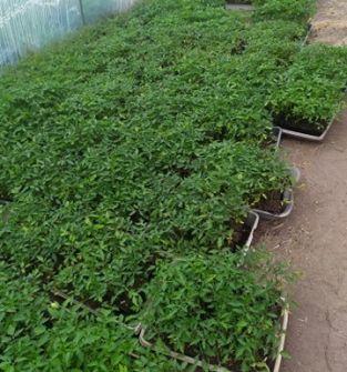 Sprzedaż sadzonek warzyw, ziół, kwiatów, truskawek