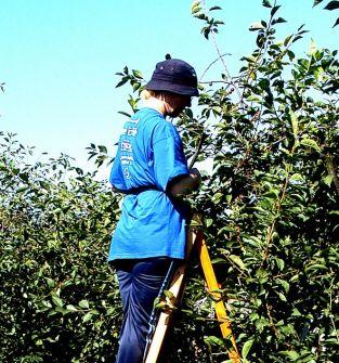 Poszukuję pracy przy zbiorze owoców sezonowych dla  nastolatków np.zbiór wiśni.