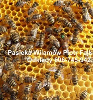 Odkłady pszczele na ramce wielkopolskiej możliwa wysyłka