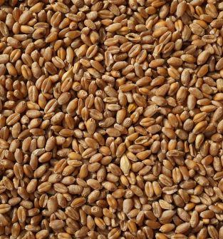 Zboże paszowe - pszenica