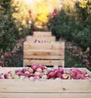 Jabłko z certyfikatem IPO