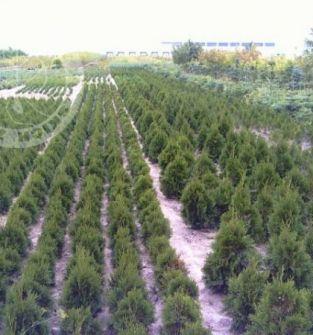 Oferujemy drzewa, krzewy iglaste a także lisciaste; materiał szkółkarski do zalesień i zadrzewień.