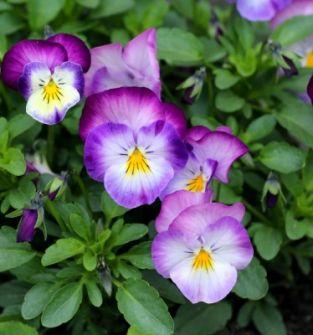 Kwiaty bratki od marca