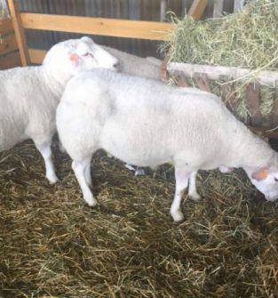 Owieczki, tryczki