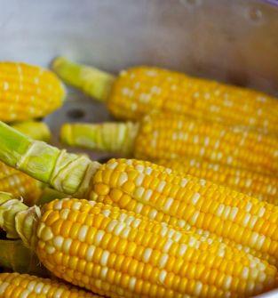 Kukurydza ziarno paszowe