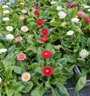 Kwiaty rabatowe-stokrotki