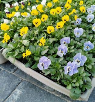 Kwiaty rabatowe - bratki