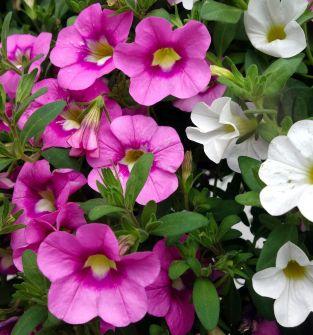 Kwiaty rabatowe i balkonowe, krzewy kwitnące, byliny, trawy ozdobne, rozsady pomidorów, selerów, ogórków, pory, papryka, sałata, zioła