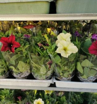 Kwiaty rabatowe - surfinie
