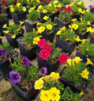 Kwiaty i materiał szkółkarski