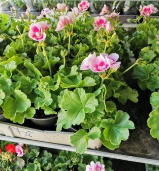 Kwiaty balkonowe - pelargonie