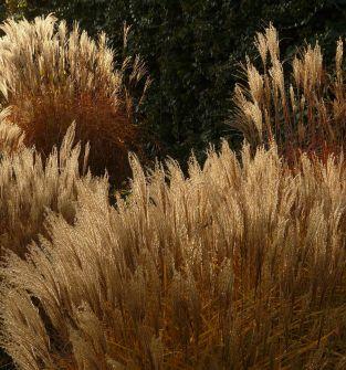 Trawy i miskanty