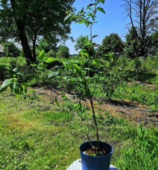Borówka wysoka (amerykańska) sadzonki 3-letnie