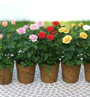 krzewy róż w doniczkach