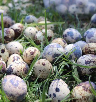 Jaja przepiorcze