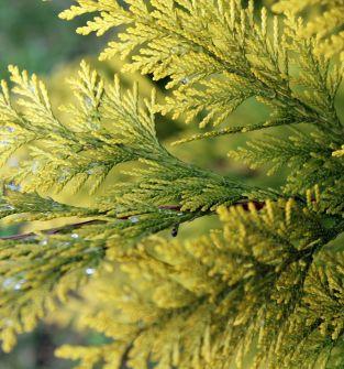 Krzewy iglaste, liściaste