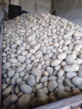 Ziemniaki Denar bezpośrednio z kombajnu