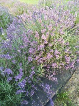 świeże oraz suszone kwiaty i bukiety lawendy i lawendyny (grosso)