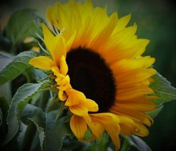 Słonecznik ozdobny (cięty)   –  ilość dowolna
