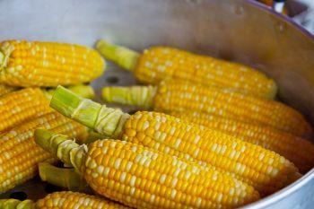 Kukurydza paszowa