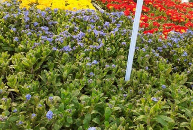 Kwiaty, byliny, bratki, stokrotki, trawy ozdobne